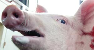 生猪养殖生产中,水温对猪生产性能的影响