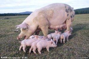 母猪多胎高产配种技术