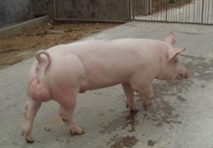 种猪关节炎的治疗方案