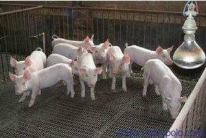 新疆:农一师二团养猪状元罗开莲
