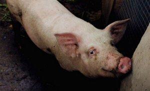 浅谈基层猪人工授精存在的一些问题