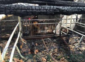 10,000头猪死于荷兰集约化猪场大火