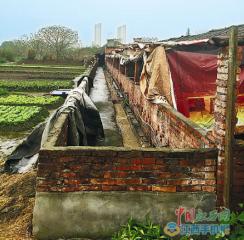 禁养区一养猪场污水直排农田