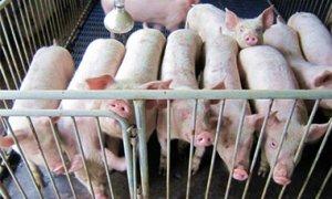 生猪价格同比上涨62% 栏里有猪的都在笑