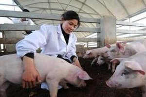 老猪场疾病净化方案