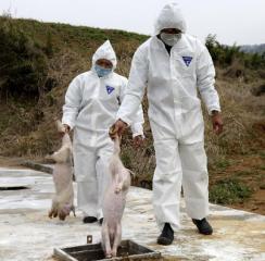 福建南安溪美宣化村11头猪已重新挖出进行无害化处理