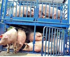 仔猪价创历史新高 预示猪价将超预期破11元/斤!