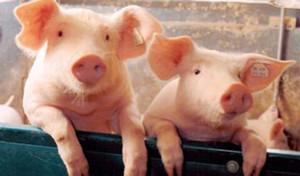 高猪价引资本涌入 4家上市公司定增80亿元