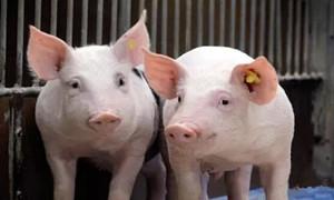 养猪的五项针对性保健