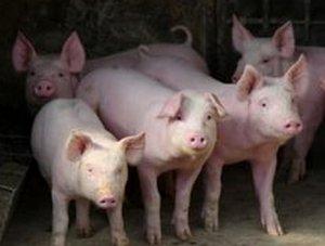 猪场疾病预防措施做得好,事倍功半