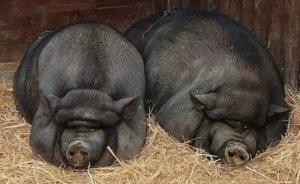 养猪增重降低饲养成本的新招