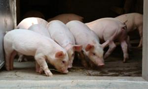 养猪场三大措施稳定猪苗质量