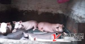广东金湾社区一居民家中养猪 周边住户烦恼