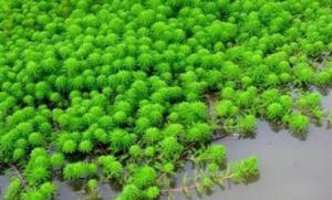 """浙江龙游:猪场工业化整治的意外收获 狐尾藻长成了""""摇钱树"""""""