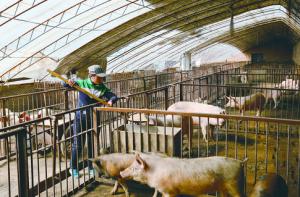 内蒙古乌兰浩特:暖棚养猪收益好