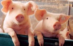 压栏影响当前生猪价格 预计3季度生猪供应提高