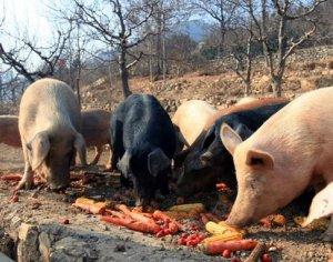 澳大利亚为迎合消费者提出的福利标准清除猪舍