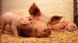 种猪健康状况影响仔猪性能