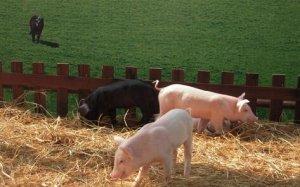 动物福利:或将成为新的贸易壁垒,全球养猪业的趋势