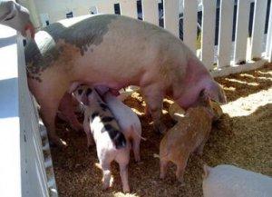 美国母猪群开始扩群
