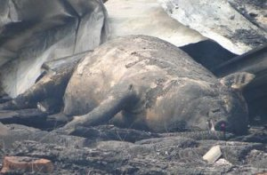 荷兰养殖场大火,万头生猪死亡