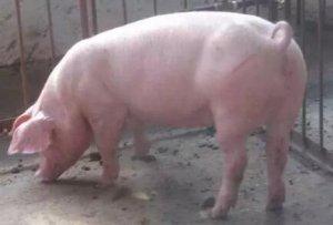 断奶至配种时间间隔对养猪生产成绩的影响
