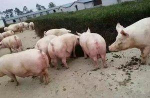 猪场猪群结构、占栏头数以及圈栏数的详细计算方法