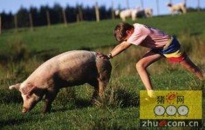 欧盟猪价:市场平衡-报价稳定