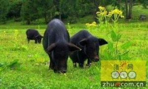 美国农业部采取行动阐明有机猪的生活水平