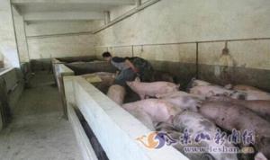 赵学英:带动相邻养猪致富