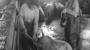 记者暗访:广东长安一黑屠宰点每日宰杀注水猪上百头