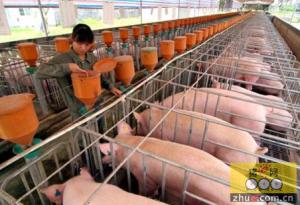 小散户未来的出路就是成为规模化猪场的员工?