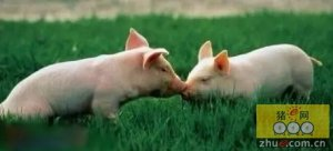 如何运用科学的方法提高母猪产仔率