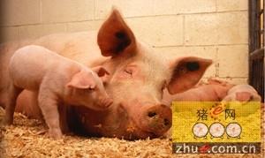 母猪分娩时该如何铺草保护仔猪?来看看英国的做法