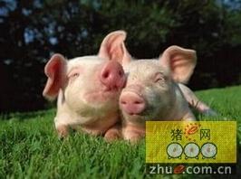 """对于猪的管理 也要做到""""春捂"""""""