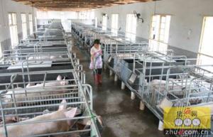 福建闽生猪规模化养殖占比超八成