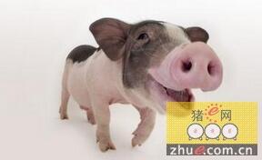 夏季常见病猪脑性链球菌的最佳预防治疗方法