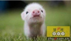 猪副嗜血杆菌的流行特点、临床症状及诊断防治