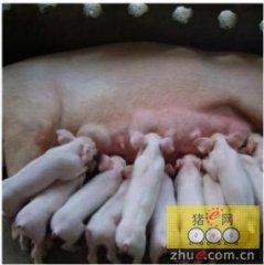 来自比利时大学的研究:初乳对仔猪的长期影响