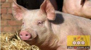 甘肃:猪粮比价处于红色预警区域 猪肉价格持续走高
