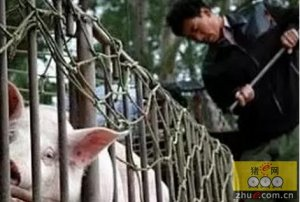 我是中国养猪散户!不懂我,请别乱说......