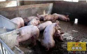 知道观察猪群的重要指标有哪些吗?给你个参考标准,要记在心里哦!