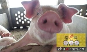 德国生猪产业降低抗生素使用
