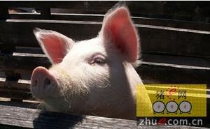 科研人员探索去除猪饲料中霉菌毒素污染影响的新方法