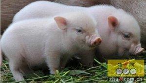 为什么要给仔猪补铁?怎么做?