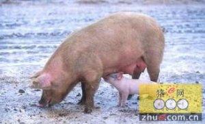 """怀孕母猪""""限饲不当""""影响母猪后继繁殖性能"""