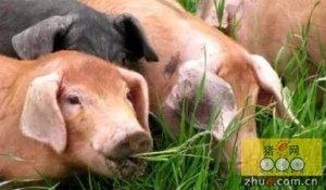 猪只爱吃平时不吃的东西,到底是怎么了?