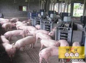 何时让母猪混群?