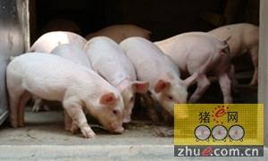 规模化猪场仔猪常见的3类问题