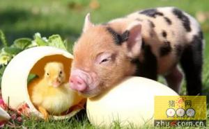 今年一季度中国猪肉产量1466万吨